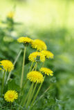 Dandelion blossom on the field, selective focus Royalty Free Stock Images