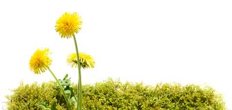 Dandelion Blossom on Moss. Dandelion on Moss on white Background royalty free stock photos