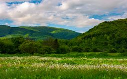 Dandelion blossom on a rural field. Beautiful countryside scenery in mountainous area royalty free stock photos