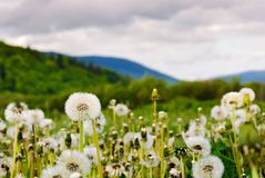 Dandelion blossom on a rural field. Beautiful countryside scenery in mountainous area stock photos
