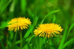 Dandelion blossom in spring Stock Photo