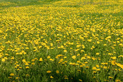 Dandelion blossom yellow spring field in nature. Stock Photos