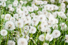 Dandelion. The blossoming blowball Stock Photography