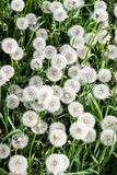 Dandelion. The blossoming blowball Royalty Free Stock Image