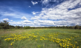 Dandelion blossoming in the meadow. On a Sunny day Stock Photography