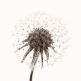 Dandelion blow ball Stock Photos