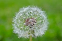 Free Dandelion Blow Ball Stock Photos - 40018103