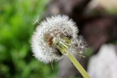 Dandelion with seeds blowing close up. royalty free stock photo