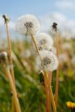 Dandelion Blow Ball Stalks Royalty Free Stock Photo