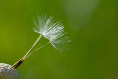 Dandelion blowball Stock Photography