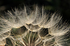 Dandelion blowball. Blowball macro close-up. Seeds of dandelion. Nature stock photos