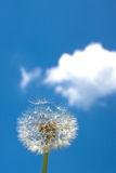 Dandelion blowball Royalty Free Stock Image