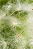 Dandelion blowball. Flying with green grass background royalty free stock photography