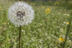Dandelion blowball background copy space. Dandelion on green background copy space Stock Images