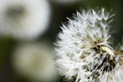 Dandelion Blowball Stock Image