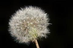 Dandelion Blowball Cutout Stock Photography