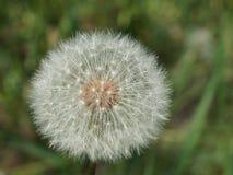 Одуванчик dandelion Stock Photos