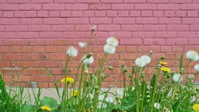 Dandelion blowball in front of brick wall. Of pink color blow out with gush of the wind stock video footage