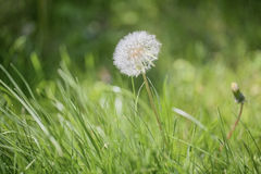 Dandelion blowball. Macro phorograph of dandelion in meadow Royalty Free Stock Photography