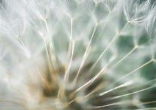 Dandelion blowball miękki abstrakcjonistyczny makro- zdjęcia stock