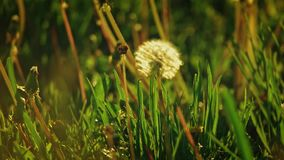 Dandelion blowball moving lonely in the grass field. In slow motion backlit stock video