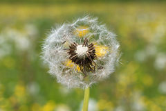 Dandelion blowball with seeds, blurry background Royalty Free Stock Image