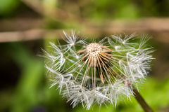 Dandelion blowball seeds Royalty Free Stock Images