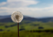 Dandelion Blowball Shining in Summer Sun stock photos