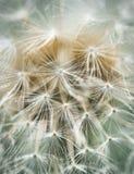 Dandelion blowball w w górę miękkich kolorów zdjęcia stock