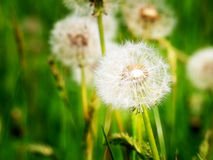 Dandelion blowballs Stock Image