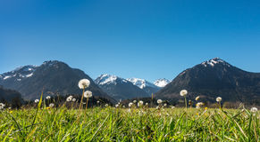Dandelion blowballs in idyllic mountain scenery and clear blue sky. Royalty Free Stock Images