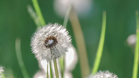 Dandelion blowballs in the morning sunlight. On a fresh green background Stock Photos