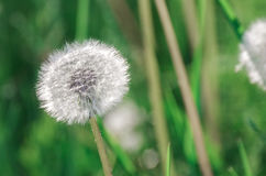 Dandelion blowballs in the morning sunlight. On a fresh green background Royalty Free Stock Images