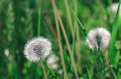 Dandelion blowballs in the morning sunlight. On a fresh green background Stock Photo