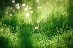Dandelion blowballs on a peaceful meadow of fresh green grass Royalty Free Stock Photo