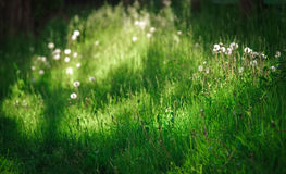Dandelion blowballs on a peaceful meadow of fresh green grass. In the sunny summer afternoon Stock Photos