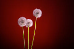 Dandelion blowballs red Royalty Free Stock Image