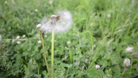 Dandelion blowed. On a meadow stock video footage
