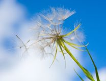 A Dandelion blowing Royalty Free Stock Photo
