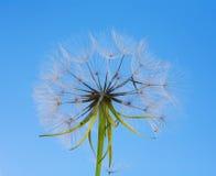 A Dandelion blowing Stock Photos