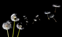 A Dandelion blowing Stock Photos