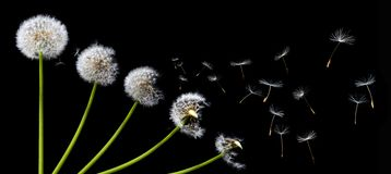 A Dandelion blowing Royalty Free Stock Image