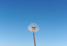 A Dandelion blowing its seed in the wind. Stock Photos