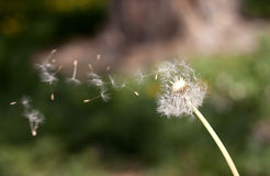 Dandelion blowing seeds. In the wind Royalty Free Stock Photo