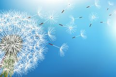 Dandelion blowing seeds on blue background Stock Image