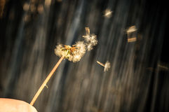 Dandelion blowing seeds Stock Image