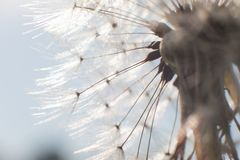 Dandelion blowing seeds Royalty Free Stock Images
