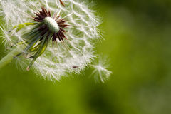Dandelion blowing seeds in the wind against green. Grass as background Stock Photos