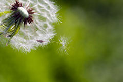 Dandelion blowing seeds in the wind against green. Grass as background Royalty Free Stock Photography