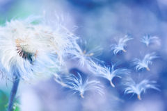 Dandelion blowing. Dandelion seeds blowing wind, dreamy magical image with blue tones Royalty Free Stock Photography